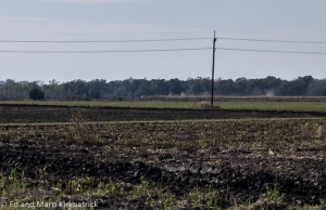 New cane growing in burned areas