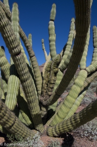 Organ Pipe Cristate