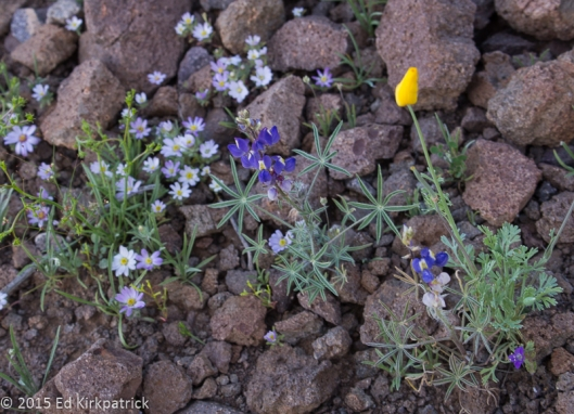 Mojave Desert Start, Lupine and closed Arizona Poppy