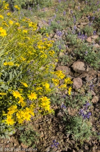 Brittlebush and Lupine