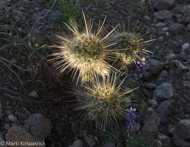 Hedgehog Cactus and Lupine