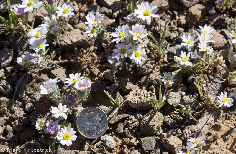 Mojave Desert Star