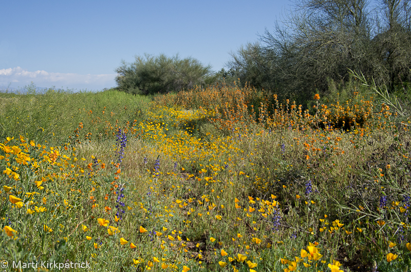 Roadside Arizona Poppies, Lupine and Desert Globe Mallow