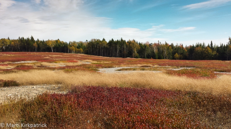Wild blueberry fields are all across Maine.  44,000 acres of them. Yummm